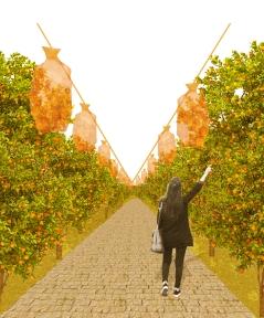 Mechanical Harvest System within Orange Grove